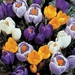 Crocus Large Flowering Mix (XL)
