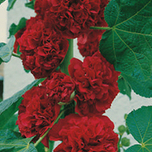 Alcea Rosea Dark Red