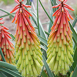 Kniphofia Traffic Light (Torch Lily)
