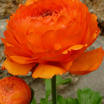 Ranunculus Orange - Double Orange Buttercup