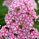 Phlox Peppermint Twist