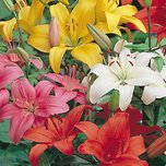 Asiatic Lilies Mix (Large pack)