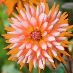 Dahlia Orange Turmoil