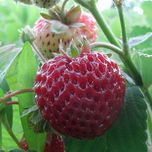 Strawberry Framberry (garden ready)
