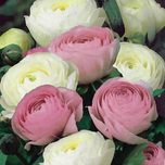 Ranunculus White & Pink Mix