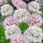 Alliums Roseum & Amplectans Mix