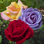 Collection Largeflowering Roses Perfumed