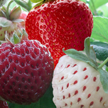 Strawberry Mix (garden ready)