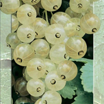White Berry (White Currant – Ribes Rubrum)