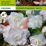 Begonia Odorata Fragrant White
