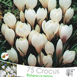 Crocus Miss Vain