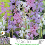 Spanish Bluebells - Scilla Campanulata Mix