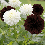 Dahlia Decorative Black and White