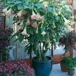 Angel's Trumpet (Brugmansia) Pink (Container Plant)