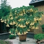 Angel's Trumpet (Brugmansia) Yellow (Container Plant)