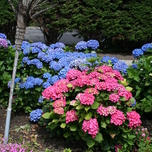 Hortensia (Hydrangea) Pink (Container Plant)