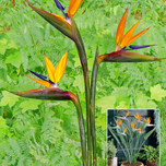 Bird of Paradise (Crane Flower) (Strelitzia reginae)