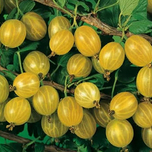 Yellow Gooseberry (Ribes uva-crispa)