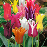 Tulipa Lily Flowering Mix