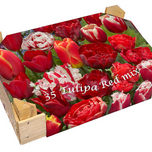 Wooden Case Tulipa Red Mix