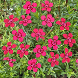 Red Maiden Pink 'Brilliant' (Dianthus deltoides)