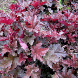 Coral Bells 'Can Can' (Heuchera)