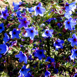 Purple Gromwell (Lithodora diffusa 'Heavenly Blue')