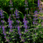 Catmint 'Kit Cat' (Nepeta)