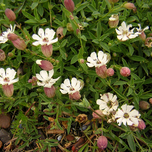 Sea campion (Silene maritima)