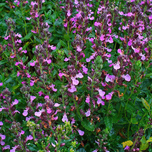 Wall Germander (Teucrium chamaedrys) (P9)