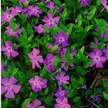 Purple Periwinkle 'Atropurpurea' (Vinca minor)