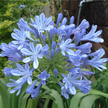 Agapanthus 'Blue Umbrella' - Cape lily