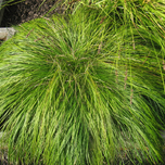 Ornamental grass Carex caryophyllea 'The Beatles'
