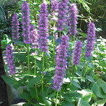 Giant anise hyssop (Agastache 'Blue Fortune') (Six-pack)