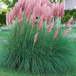 Cortaderia Selloana Pink Feather (6-pack)