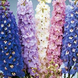 Larkspur (Delphinium (P) 'Round Table') (P9)