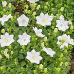 Bellflower 'White Clips' (Campanula carpatica)