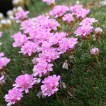 Spanish thrift (Armeria juniperifolia)