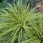 Ornamental Grass Carex oshimensis 'Evergold'