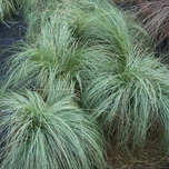 Ornamental grass Carex 'Silver Sceptre'