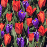 Tulipa and Crocus Combi Pack