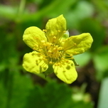 Barren Strawberry (Waldsteinia ternata)