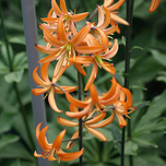 Turk's Cap Lily Orange Marmelade