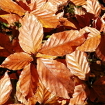 Common / Copper Beech (Fagus Sylvatica) hedge 10x (200CM)