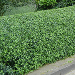 Oval leaf privet (Ligustrum ovalifolium) hedge
