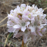 California thrift Alba (Armeria Maritima)