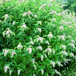 Butterfly Bush – Buddleja White
