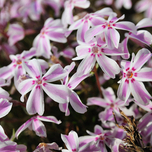 Creeping Phlox Subulata Candy Stripes