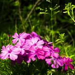 Phlox Mac Daniels Cushion - Creeping Phlox