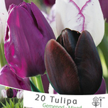 Tulipa Mix Negrita, Queen of Night & Shirley